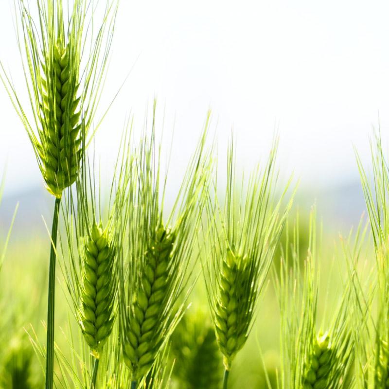 麦芽イメージ